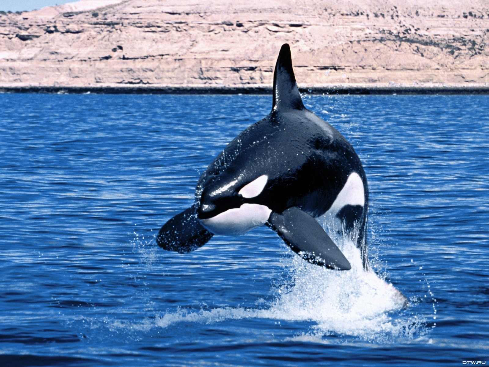 Killer Whales Wallpaper Images amp Pictures   Becuo 1600x1200