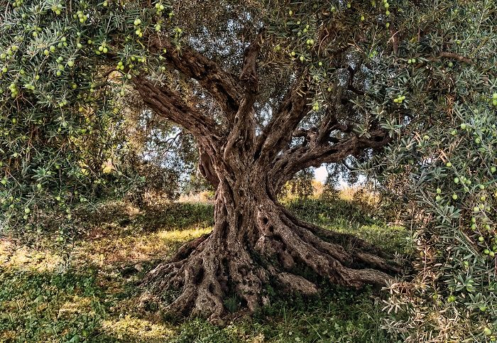 Olive Tree National Geographic wall mural wallpaper 700x483