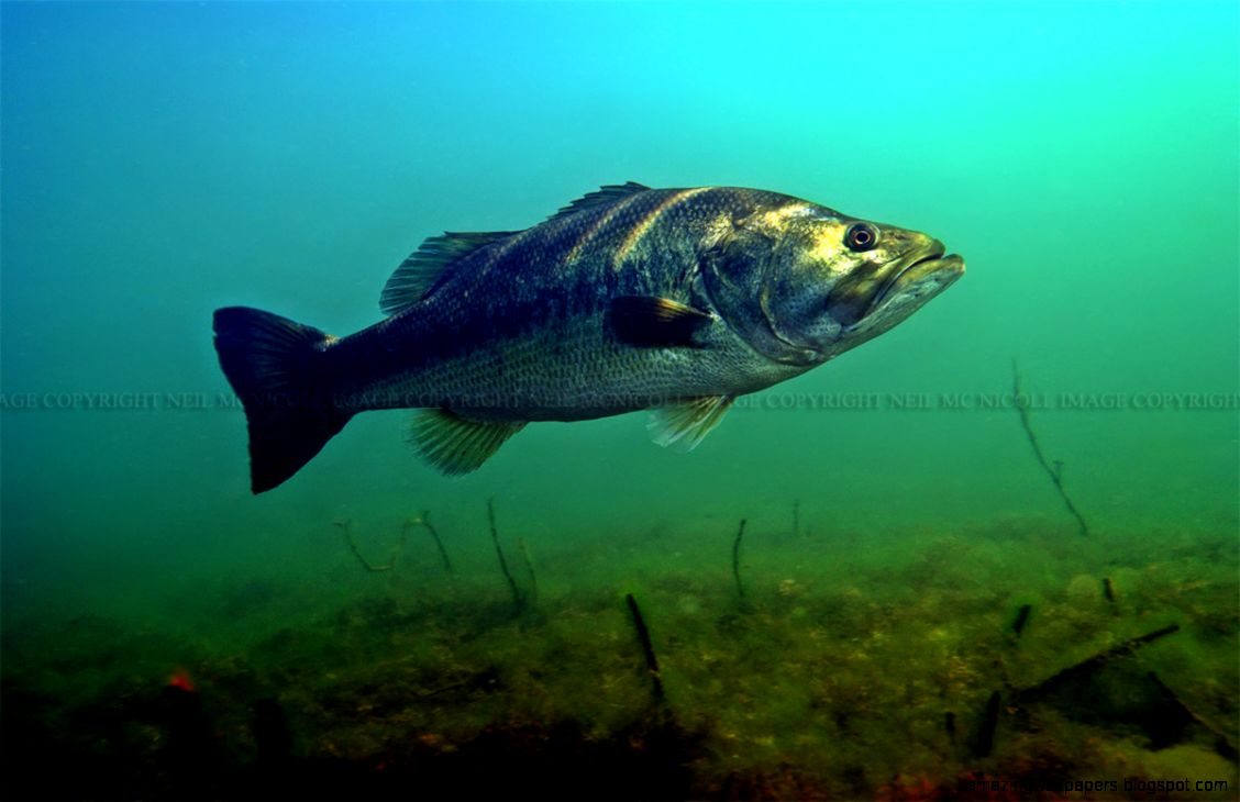 Largemouth Bass Underwater Amazing Wallpapers 1128x730