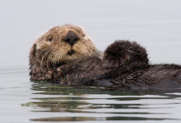 Wallpaper california usa Sea otter Otter water desktop wallpaper 590x400