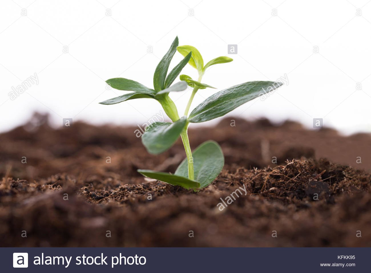 Sapling representing business growth over white background Stock 1300x958