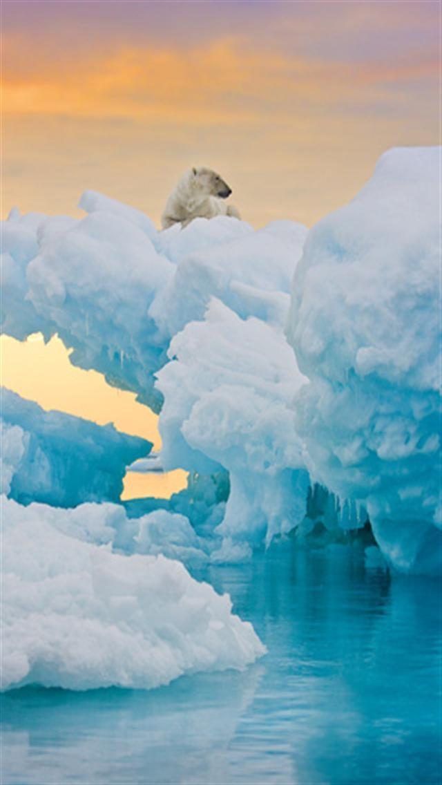 Polar Bear Animal iPhone Wallpapers iPhone 5s4s3G Wallpapers 640x1136
