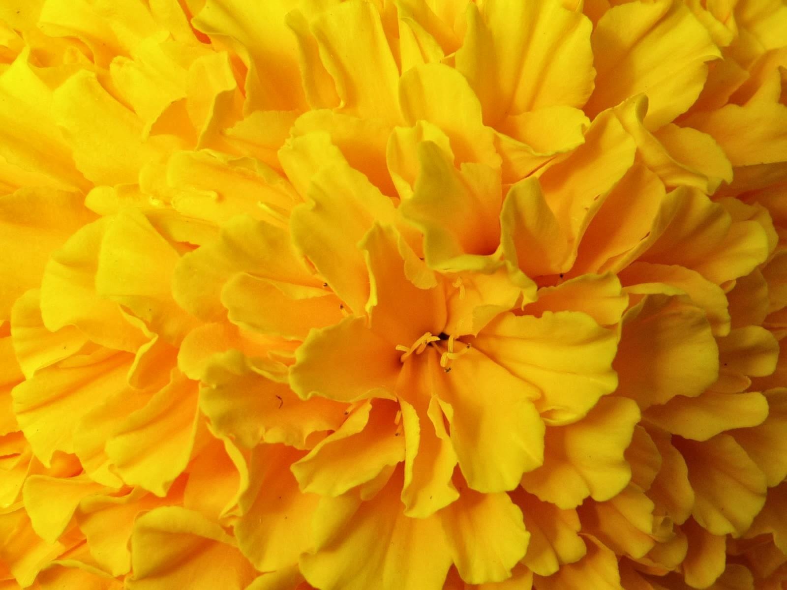 yellow flower wallpaper 9790 hd desktop wallpaperjpg 1600x1200