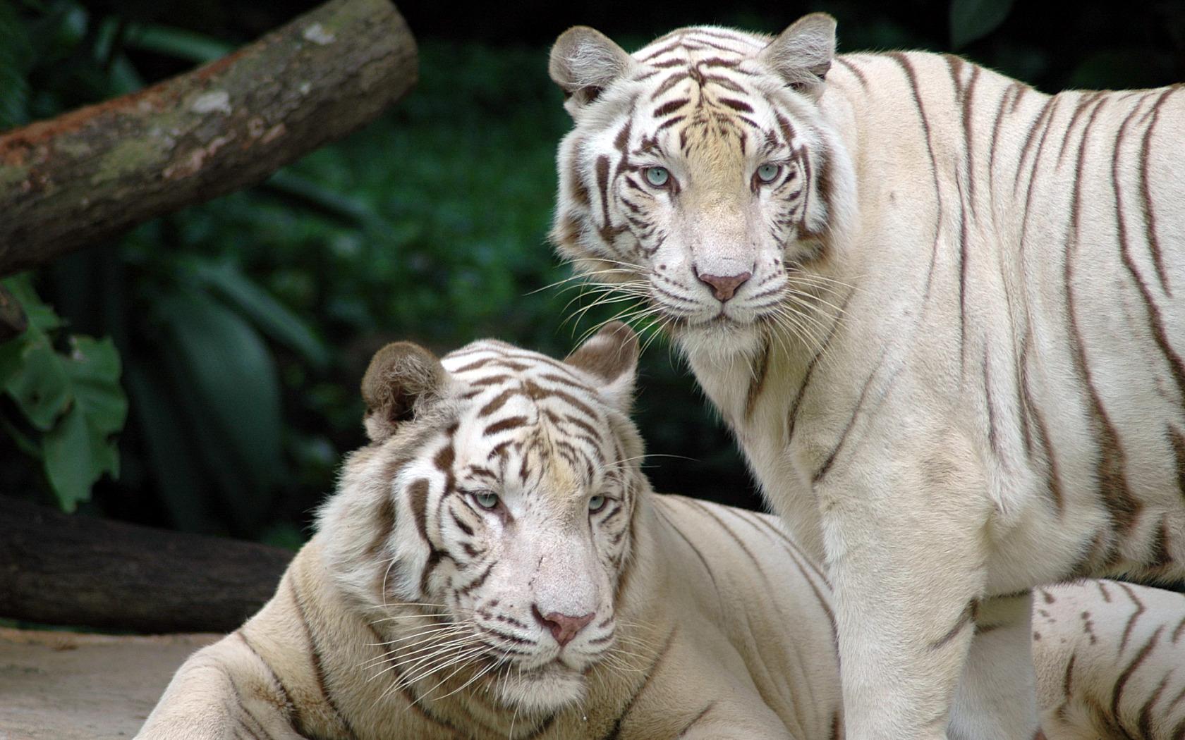 White Bengal Tigers   Splendid Wallpaper HD 1680x1050