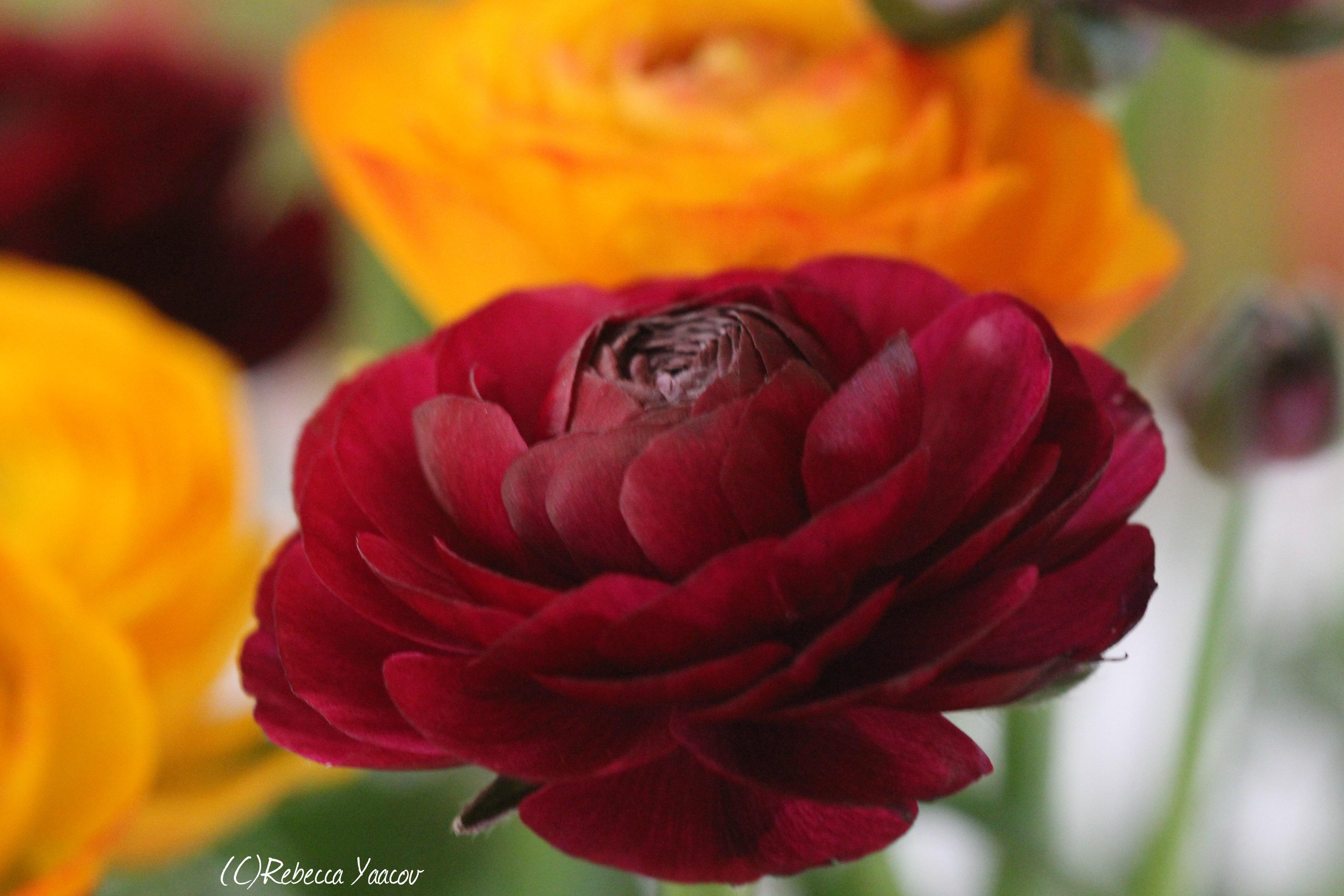 White Rose Bushes