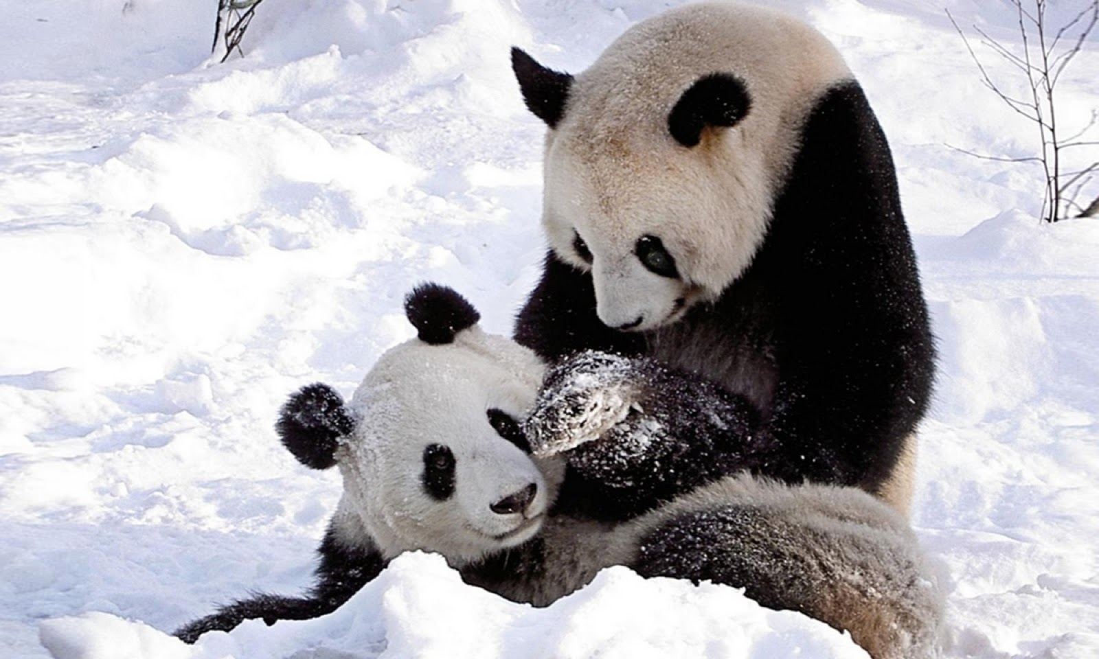 Cute Panda Bears HD Wallpapers Desktop Wallpapers 1600x960