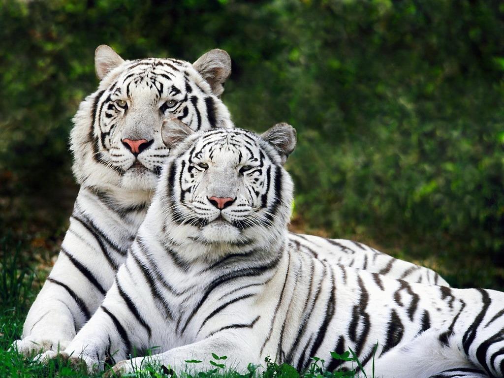 Bengal Tiger 1024x768