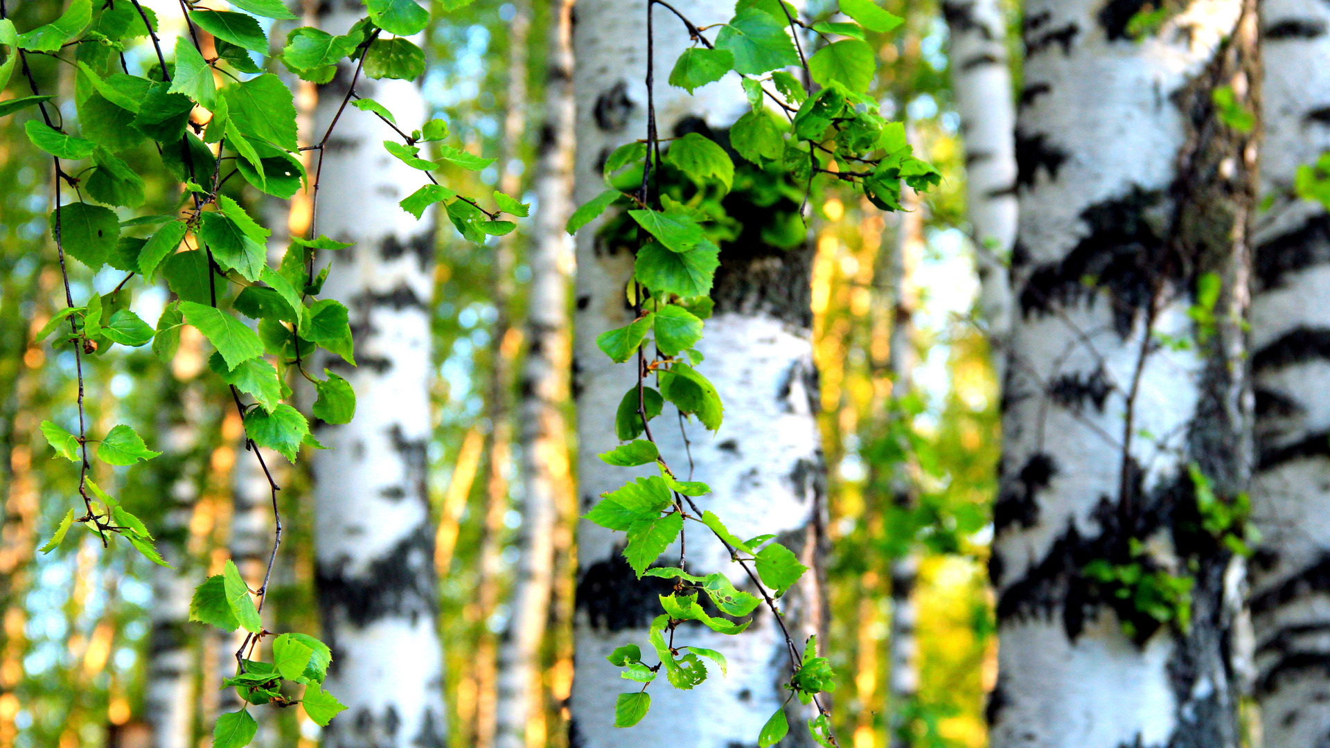 Download Birch forest wallpaper 1920x1080