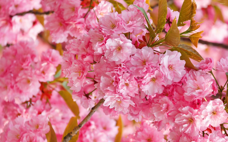 40+ Pink Cherry Blossom Wallpaper on WallpaperSafari