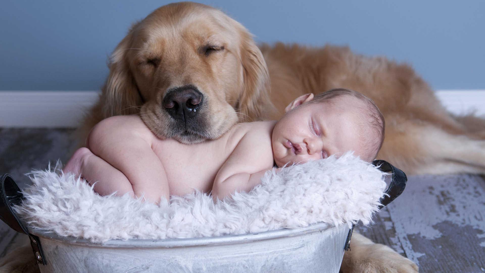 1920x1080 Golden Retriever Puppies Wallpaper