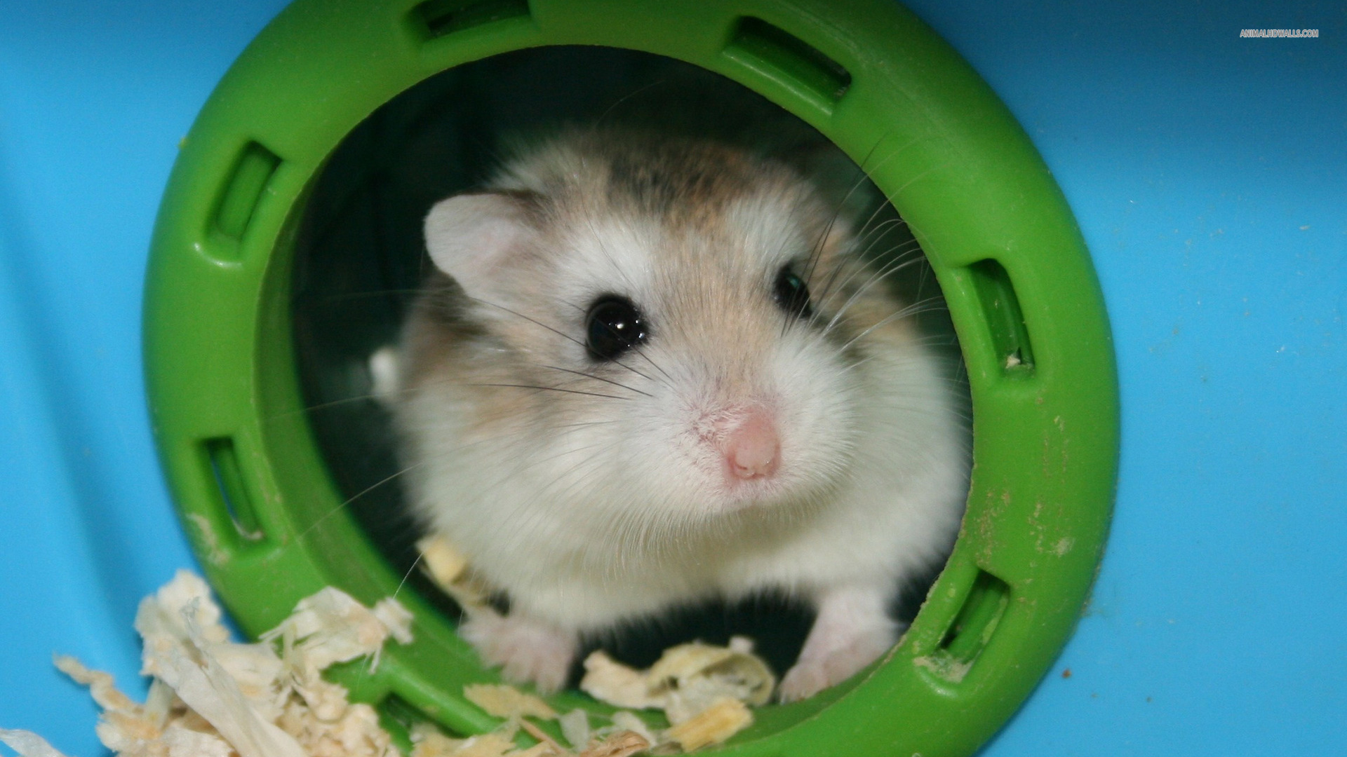 Hamster HD Desktop Wallpaper 1920x1080