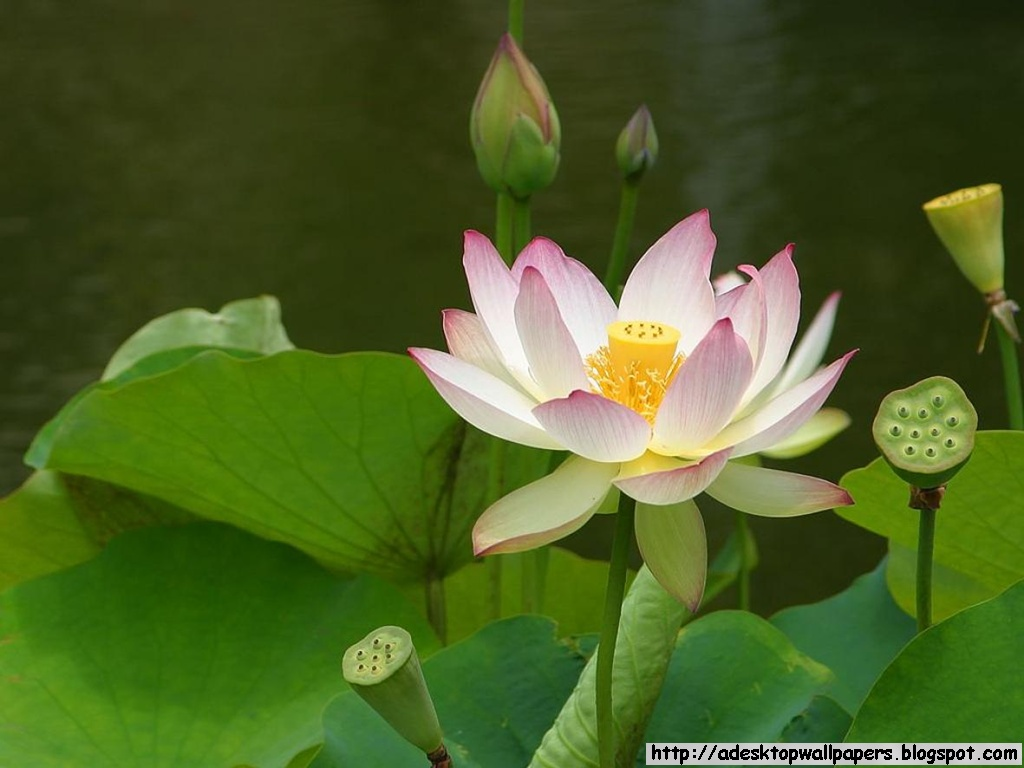 Lotus Flower Background Wallpaper Wallpapersafari