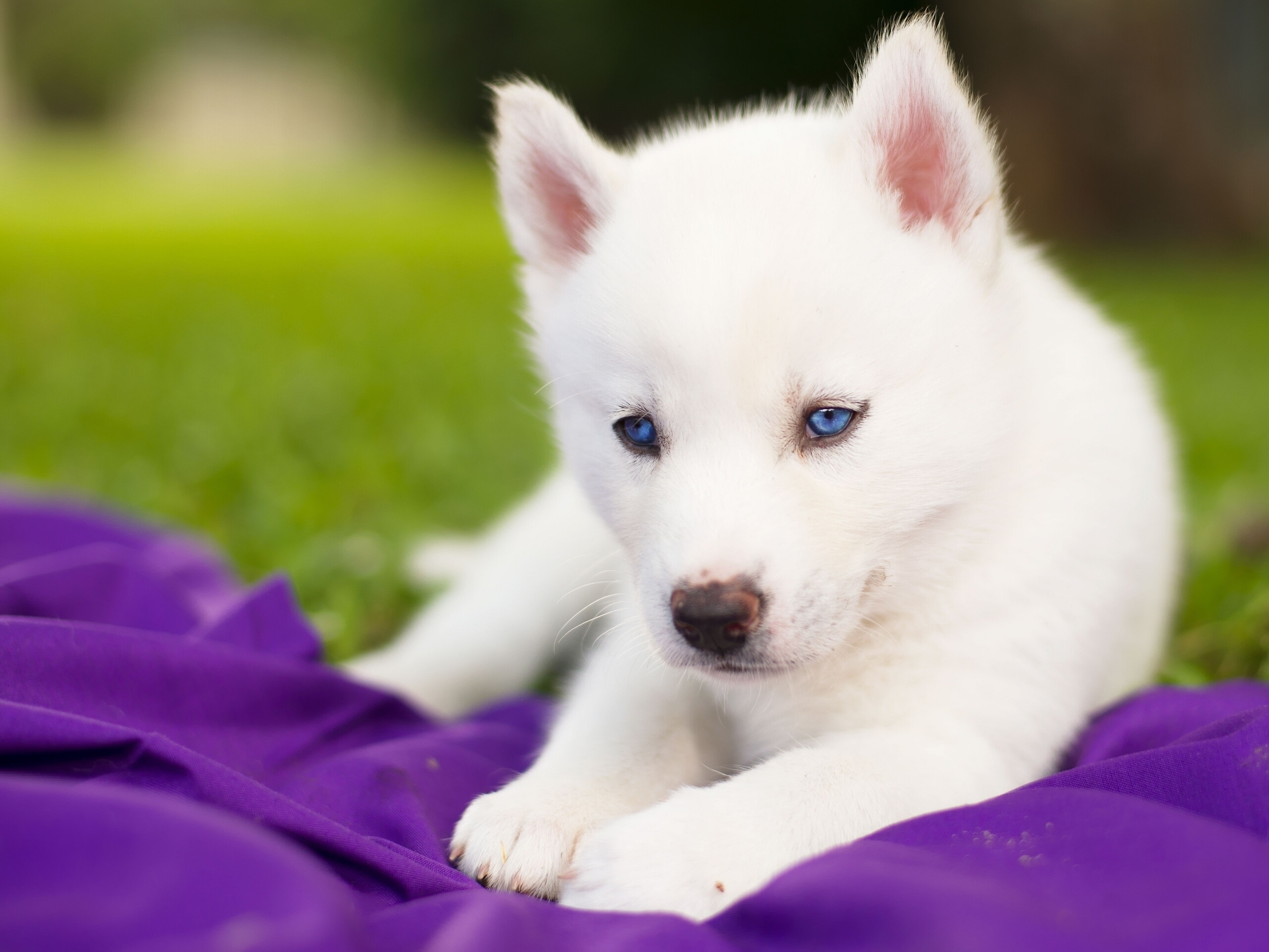 white siberian husky wallpaper wallpapersafari