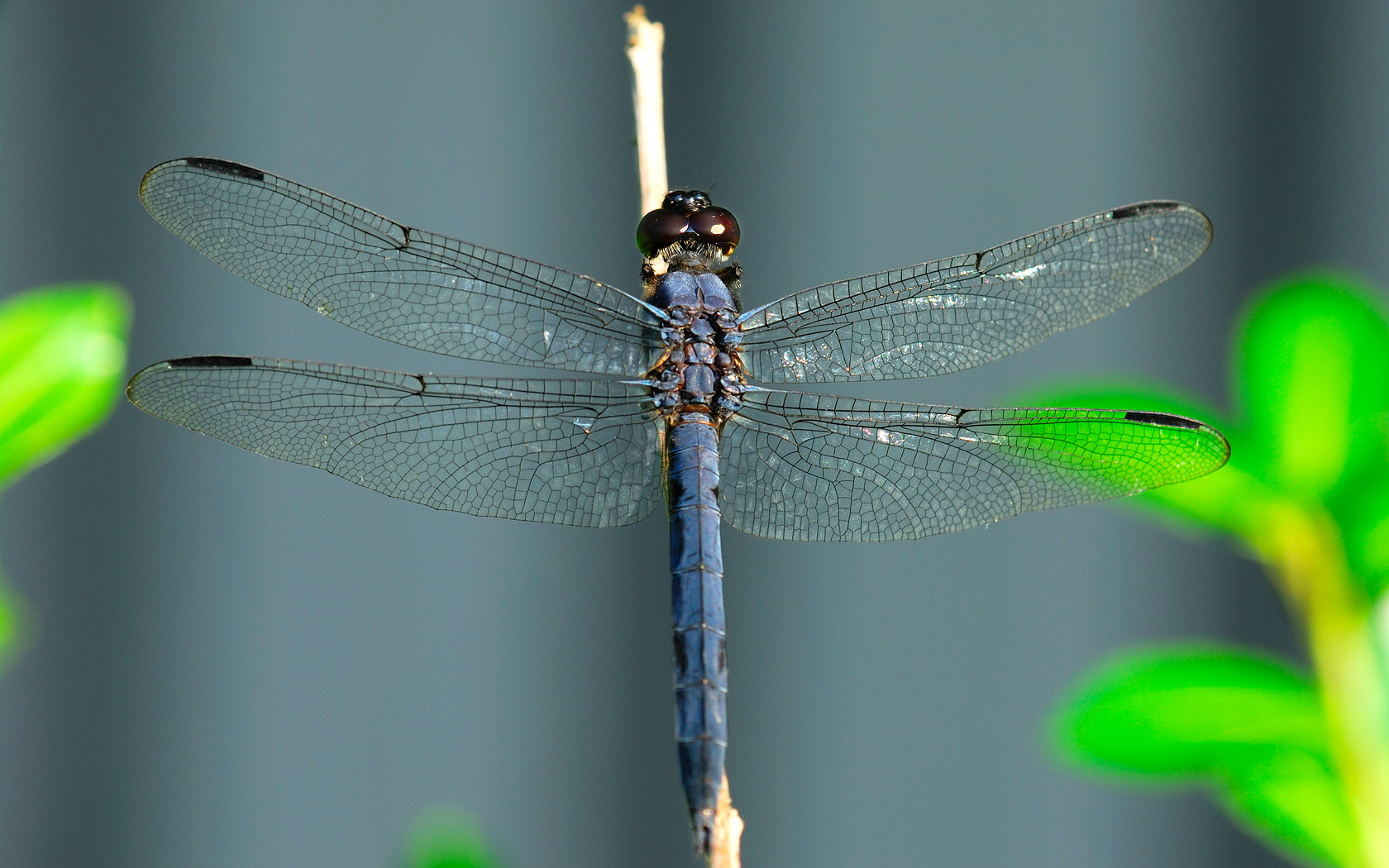 1680x1050 Blue dragonfly desktop PC and Mac wallpaper 1680x1050