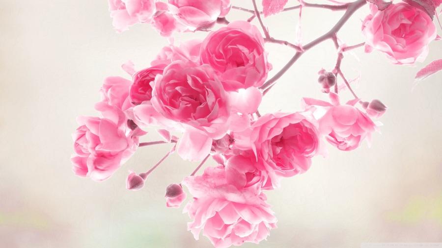 Pink Roses Desktop Wallpaper   Wallpaper High Definition High 900x506