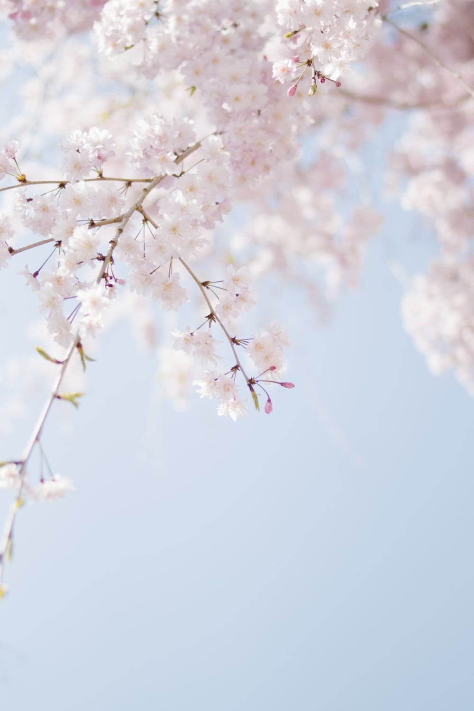 Cherry Blossom Wallpapers on WallpaperDog 1000x1500
