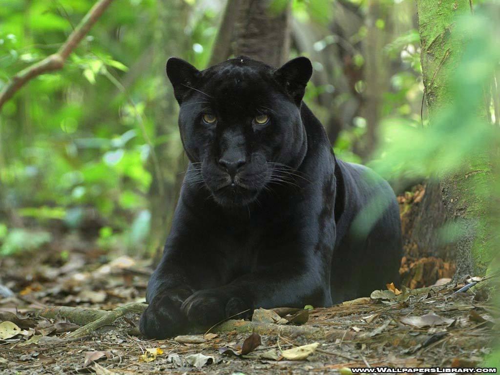 Black Panther   Animals Wallpaper 13128457 1024x768