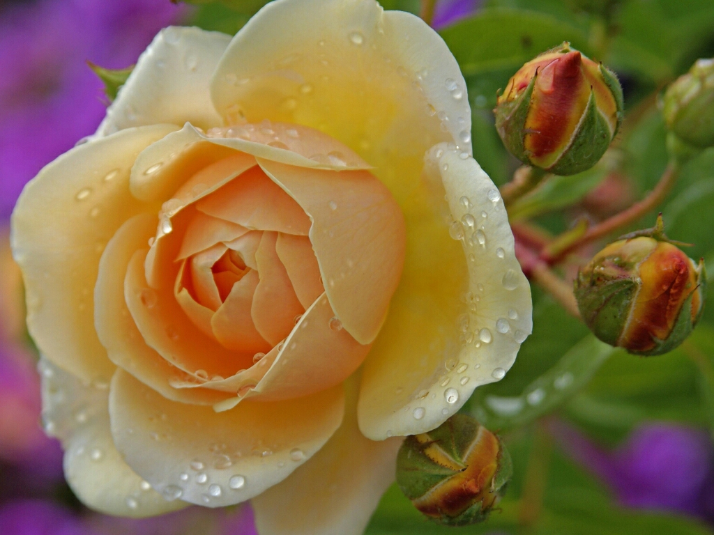 flowers for flower lovers Beautiful Rose flowers wallpapers 1024x768