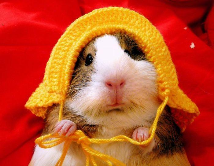 admin Pictures 14 cute guinea pigs 700x543