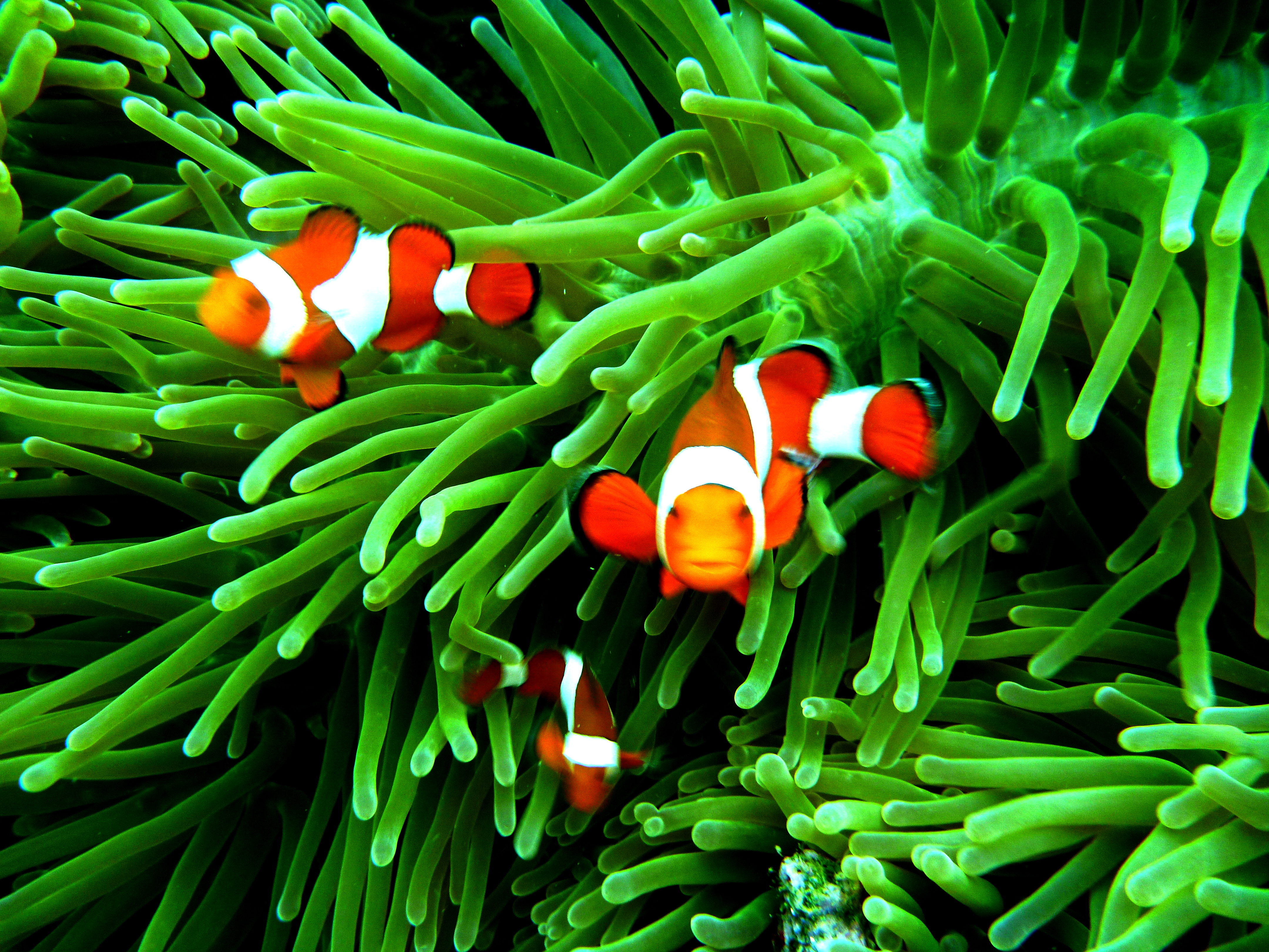 Wallpaper iphone nemo - Clown Fish 21 Clown Fish Background Images For Iphone