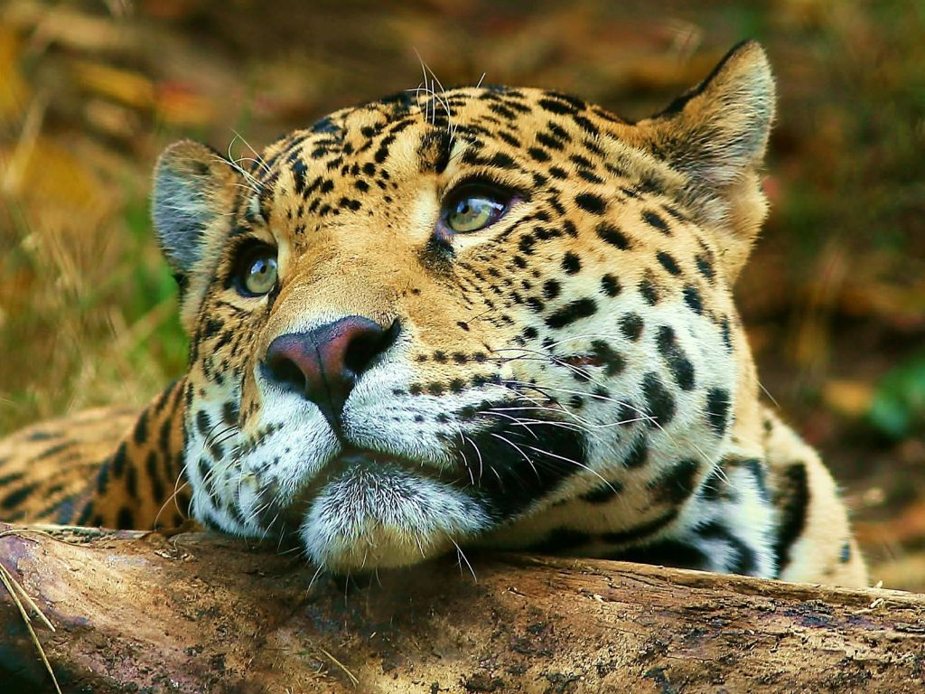 Animals blogs Tigers Wallpapers Tiger Wallpaper for Desktop 1024x768