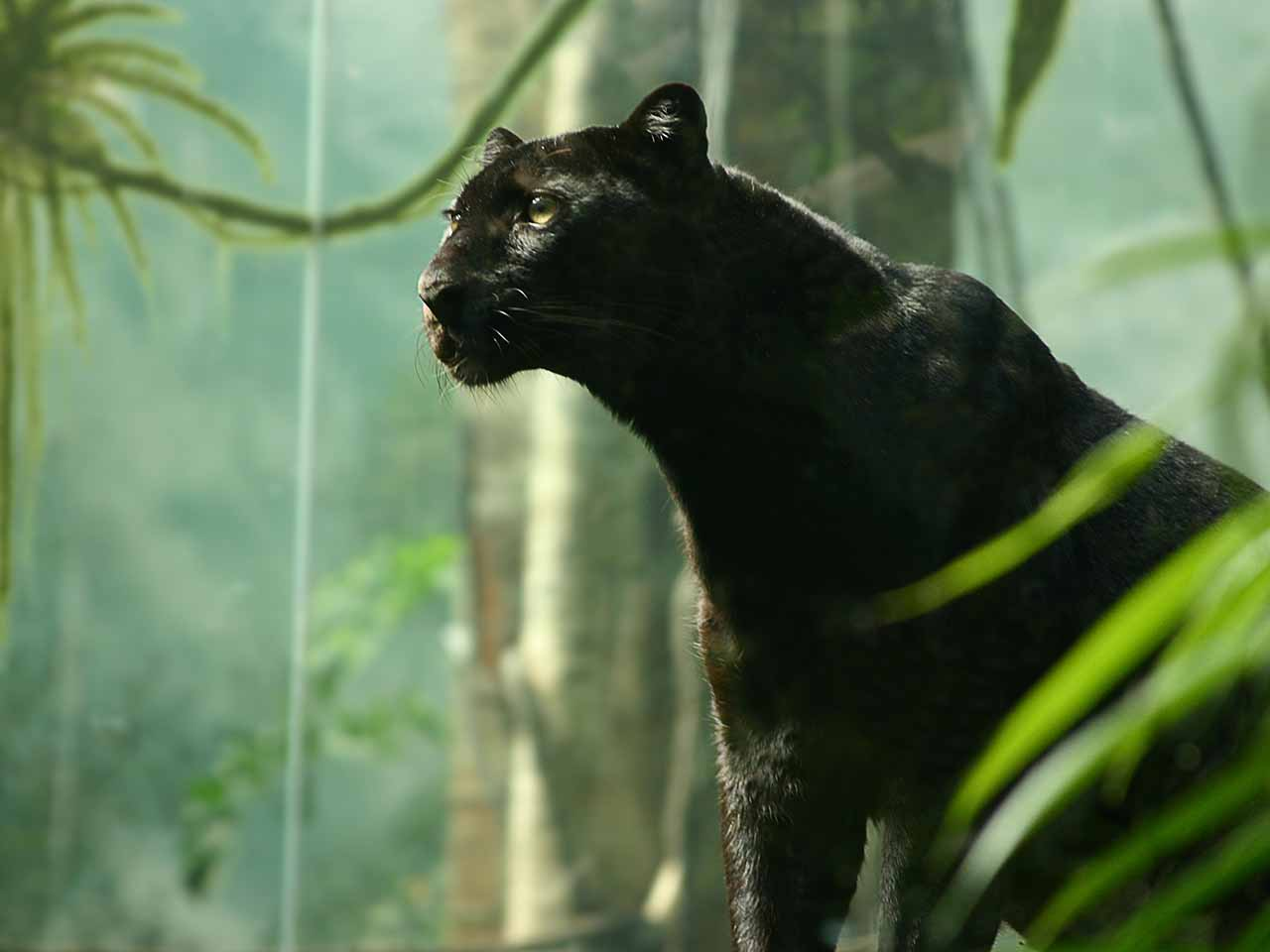 HD Wallpapers Pics Black Panther HD Wallpapers 1280x960