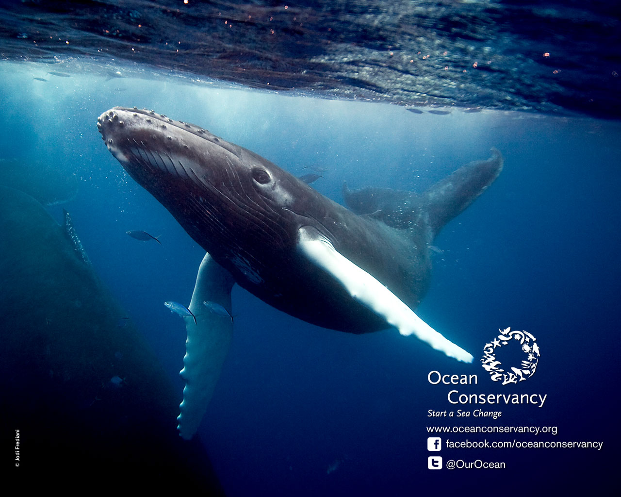 Humpback Whale Wallpapers Wallpapers Records 1280x1024
