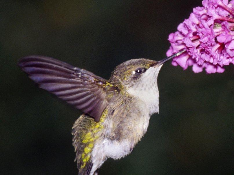 hummingbird screensavers and wallpaper wallpapersafari