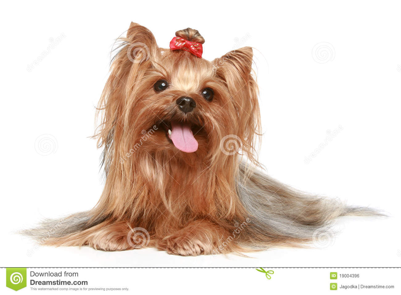 Yorkshire Terrier On A White Background Royalty Stock Image 1300x957