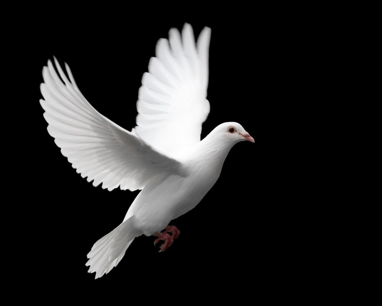 dove peace birds image hd wallpaper   14840   HQ Desktop Wallpapers 1280x1024