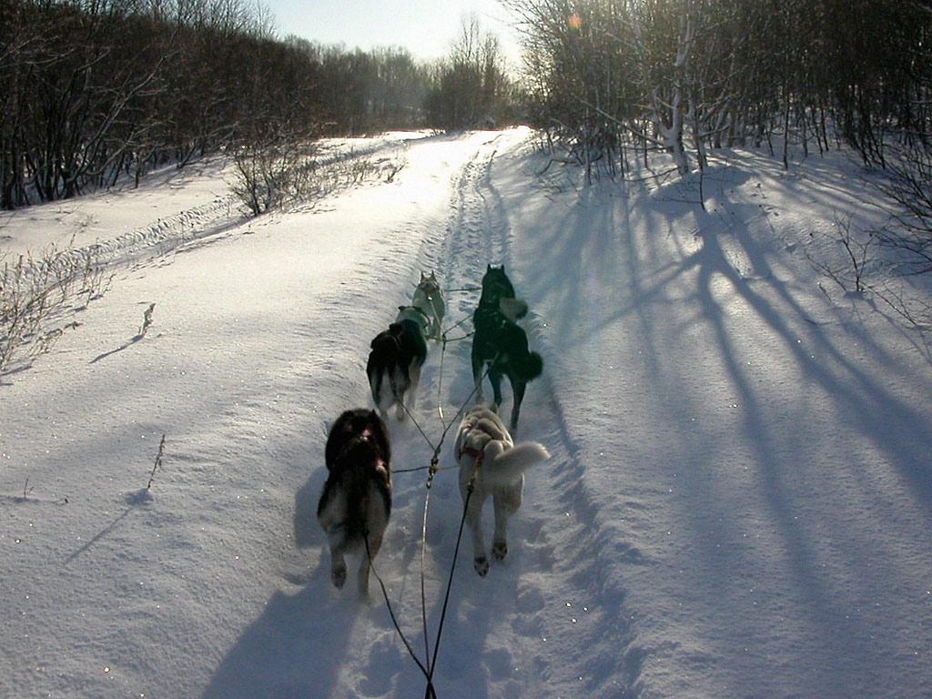 Snowy Winter - Dog Mushing Season Wallpaper, Resolution:1024x768 ...