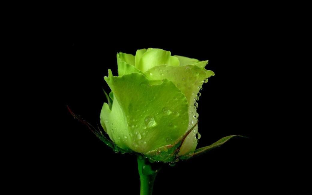Rose Flower Bud Green Drops Fresh Black Background   Stock 1040x650