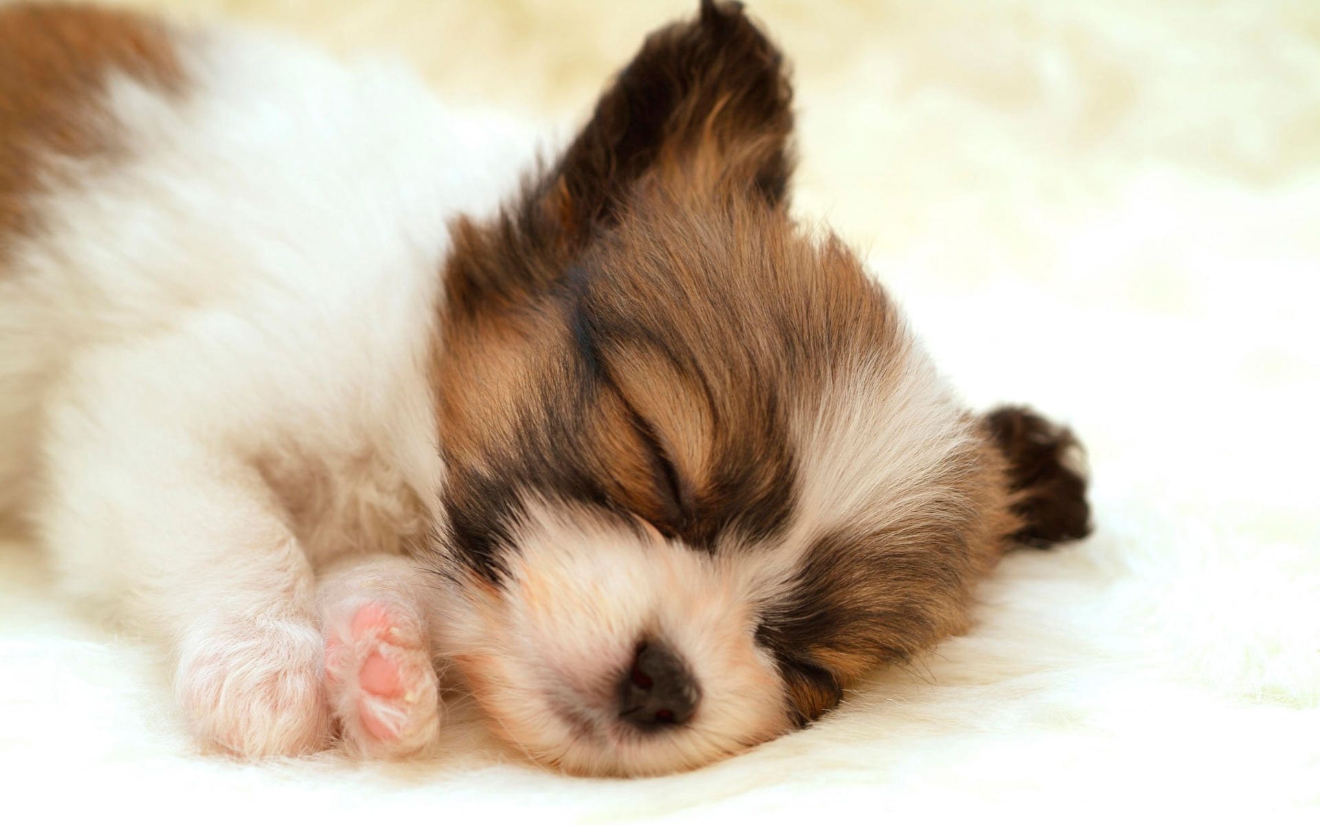 Papillon Puppy Wallpapers HD Wallpapers 1920x1200