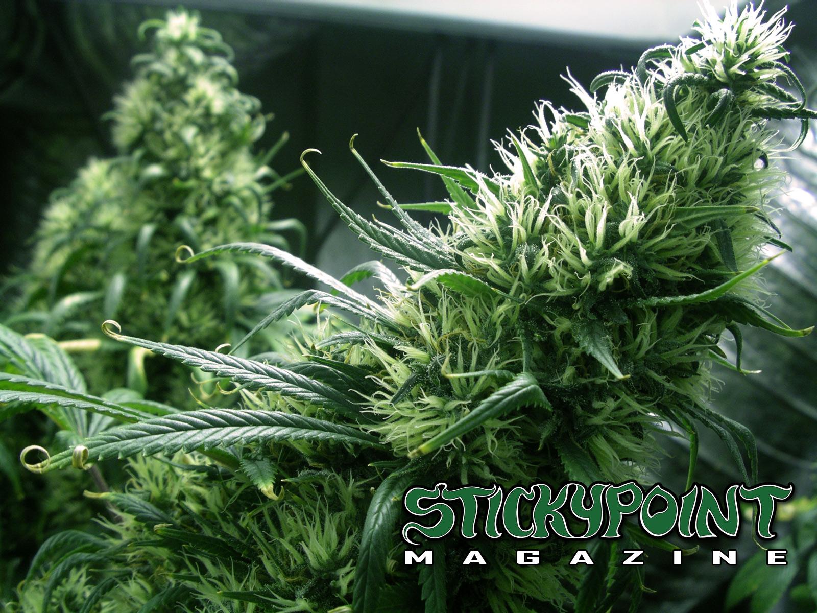 Cannabis Wallpaper 1600x1200