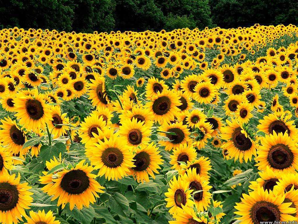 Free Download Yellow Flowers Wallpaper Yellow Flowers Wallpaper