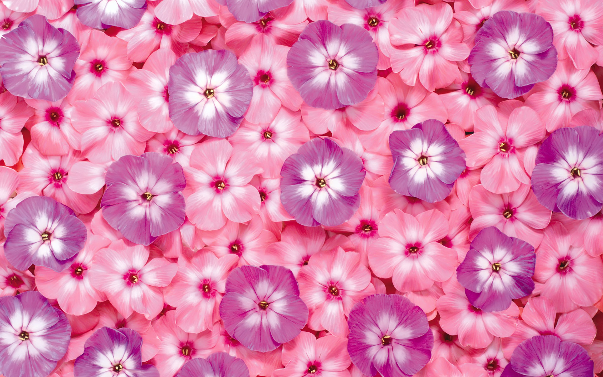 Sweet Purple And Pink Flowers Hd Wallpaper Wallpaper List 1920x1200