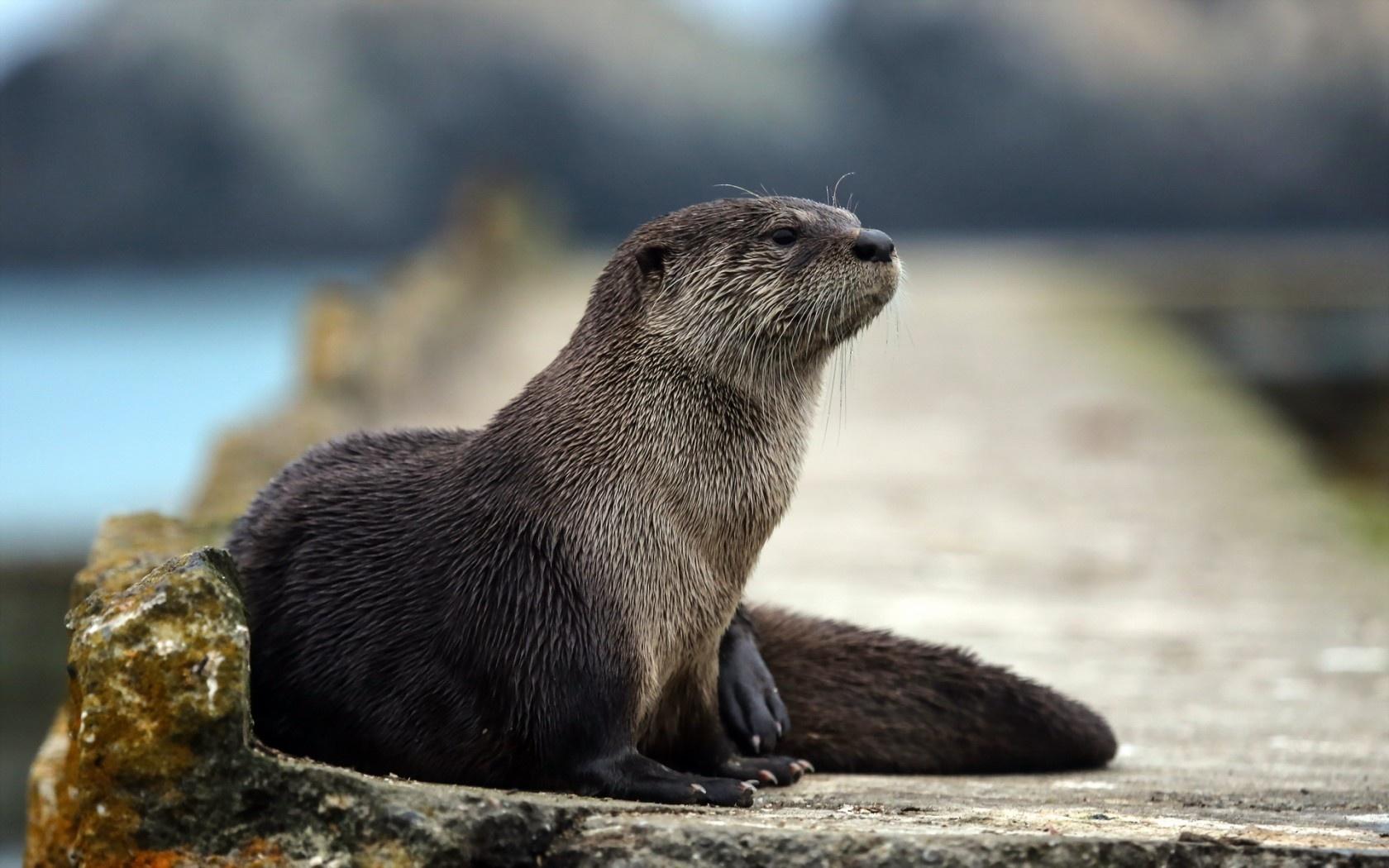Wallpaper sea otter marine mammal muzzle look desktop wallpaper 1680x1050