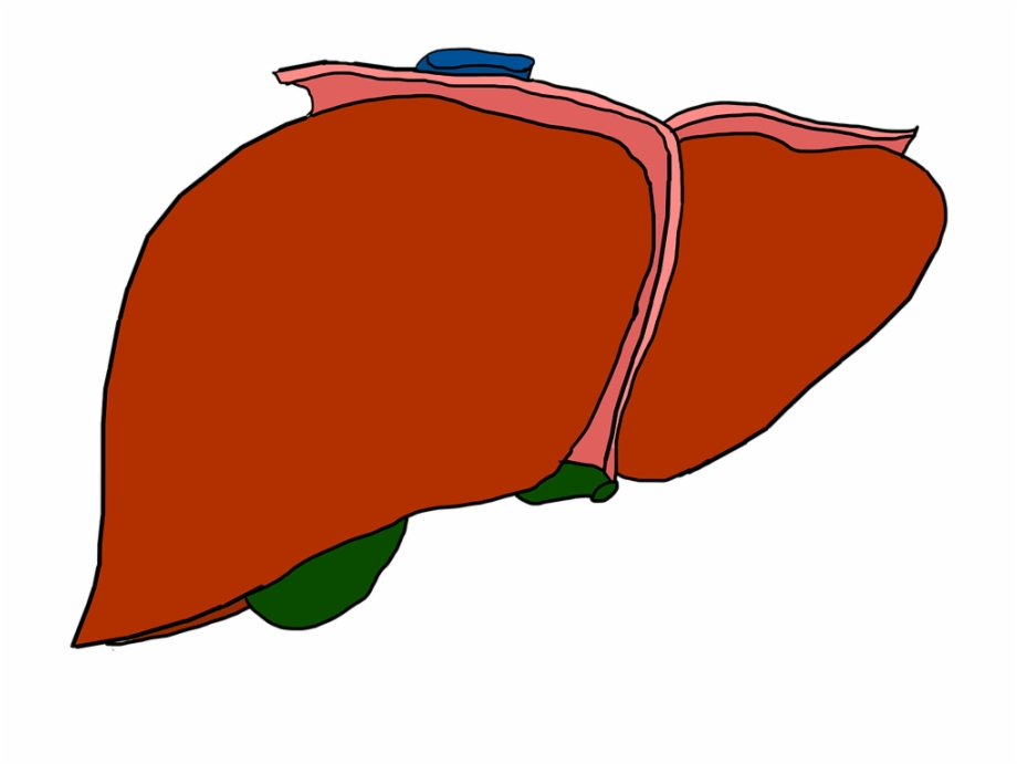 Cartoon Liver No Background PNG Images Clipart Download 920x691