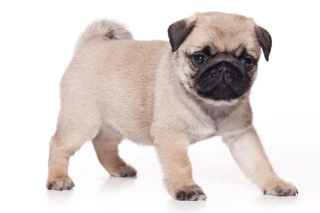 Pug Dog HD Wallpapers Daily Backgrounds in HD 1280x853