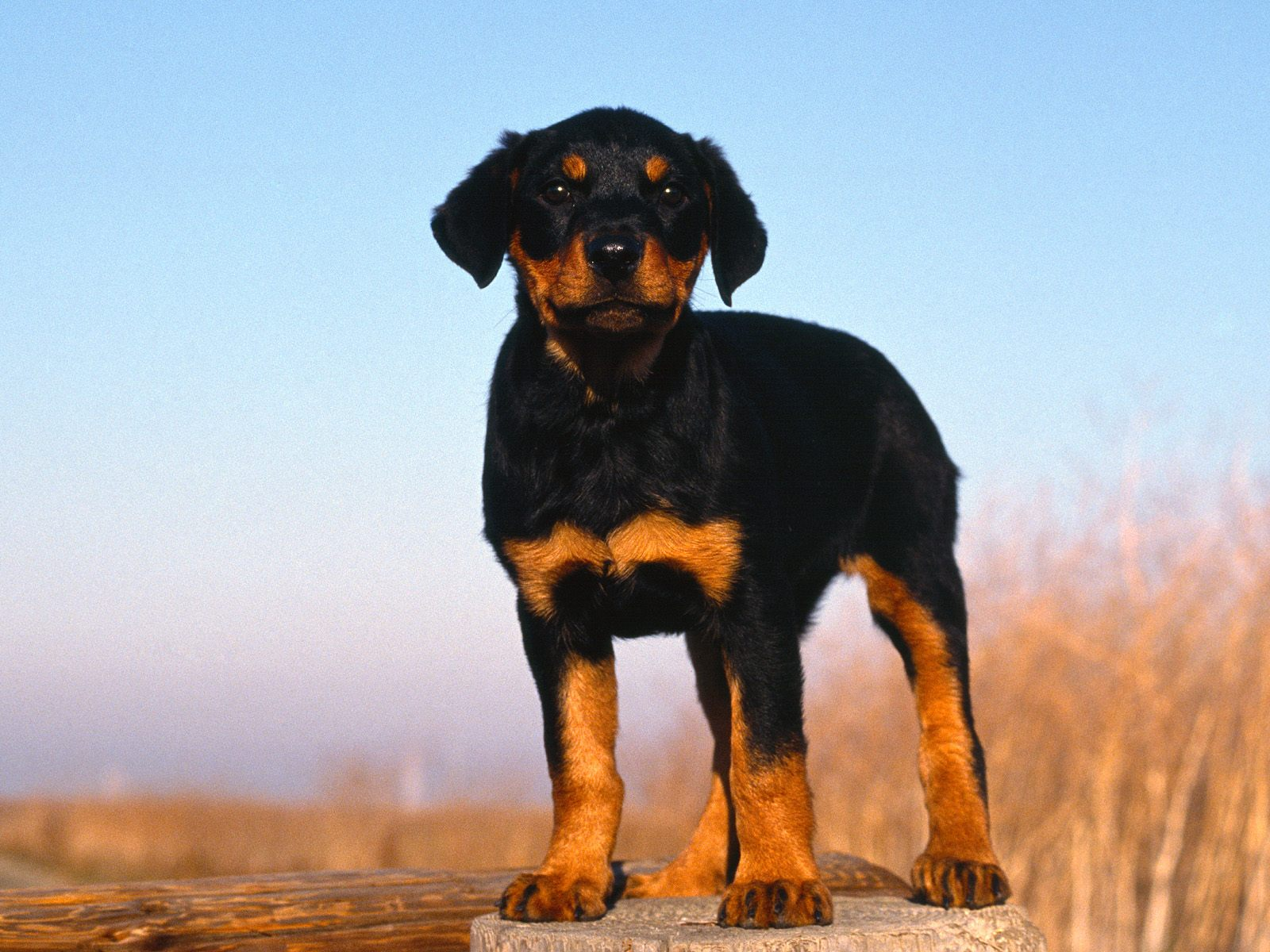 Hd Wallpapers Planet Rottweiler Puppy 1600x1200