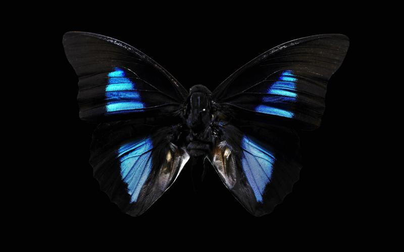 Blue Butterfly 800x500