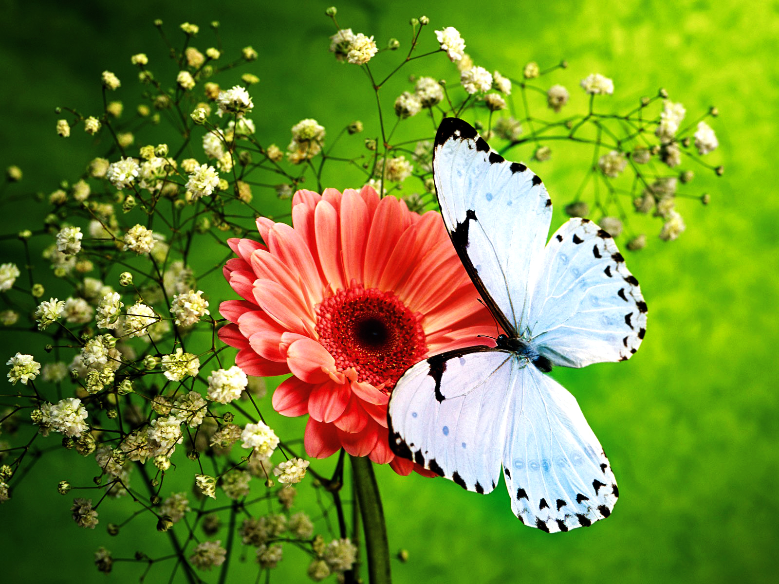 Butterfly Wallpapers Download Wallpapers in HD for your Desktop 1600x1200
