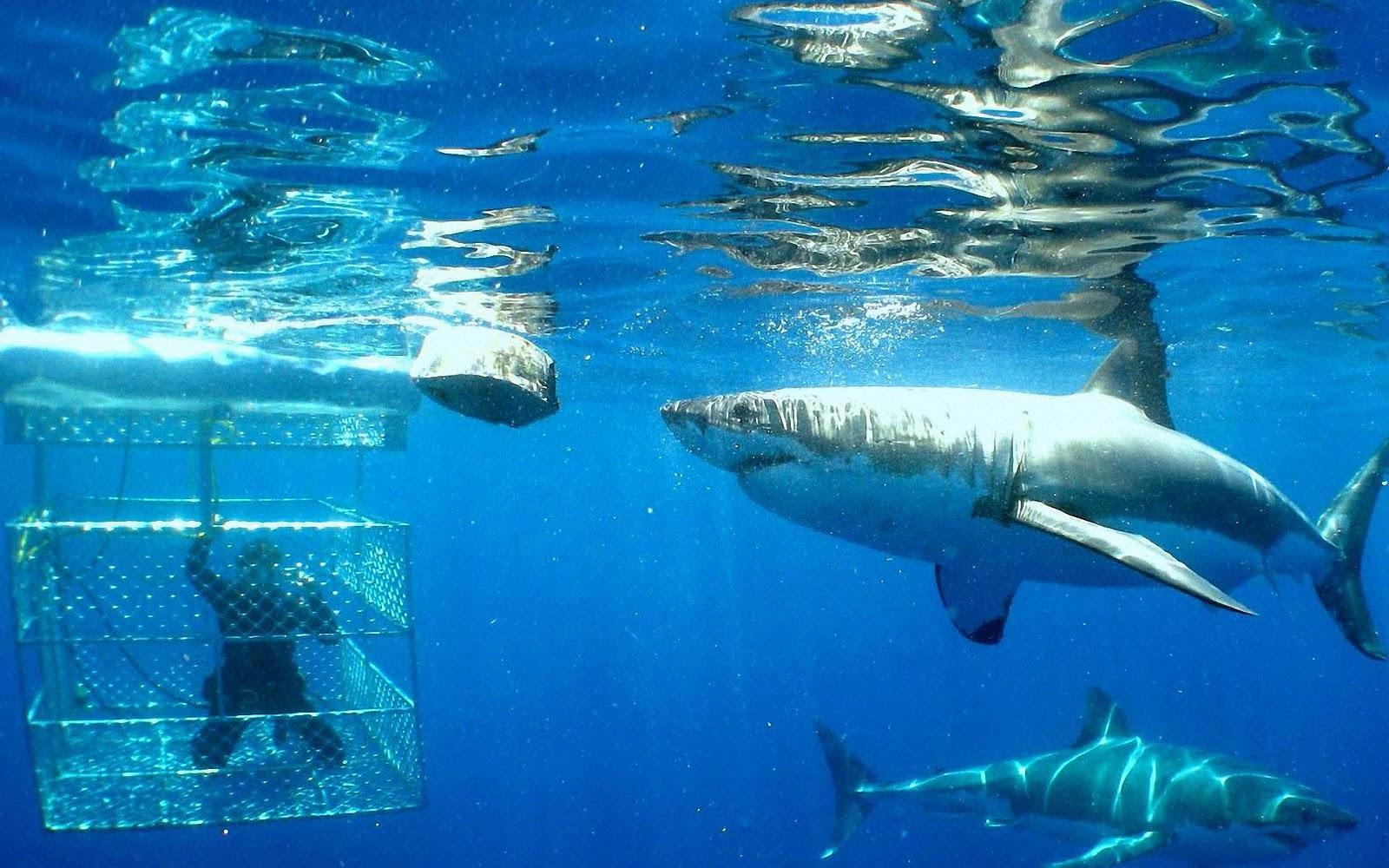 Animal pictures sharks wallpapers hd psuperos shark wallpaper 8jpg 1600x1000