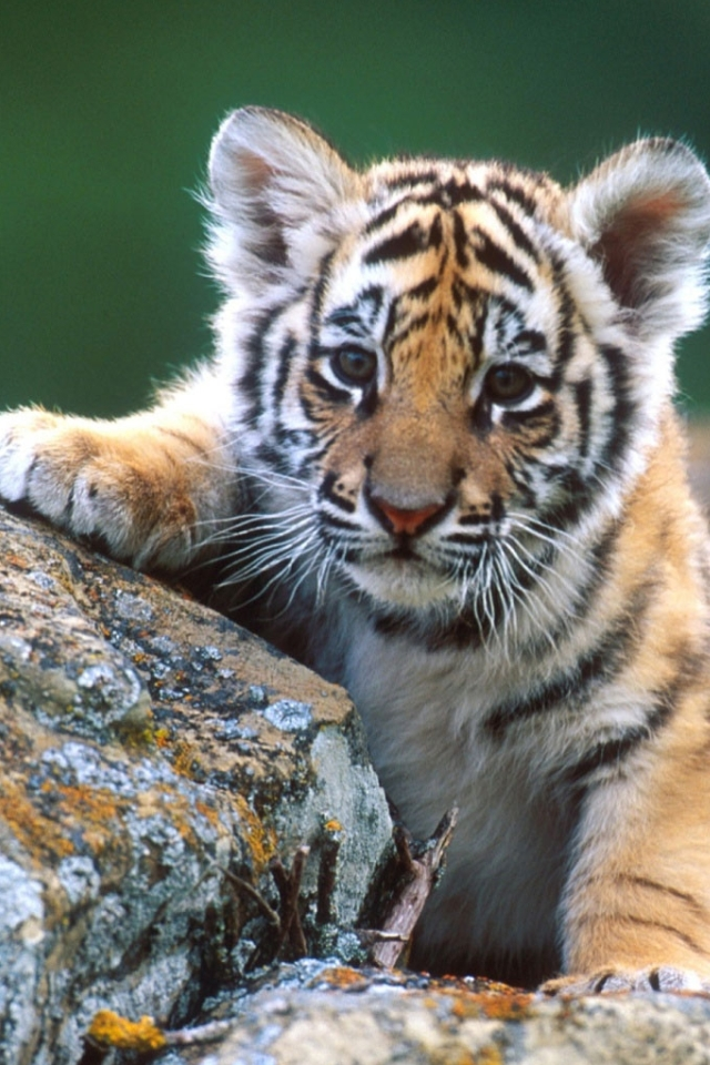 Cute Baby Tiger Wallpaper - WallpaperSafari | 640 x 960 jpeg 439kB
