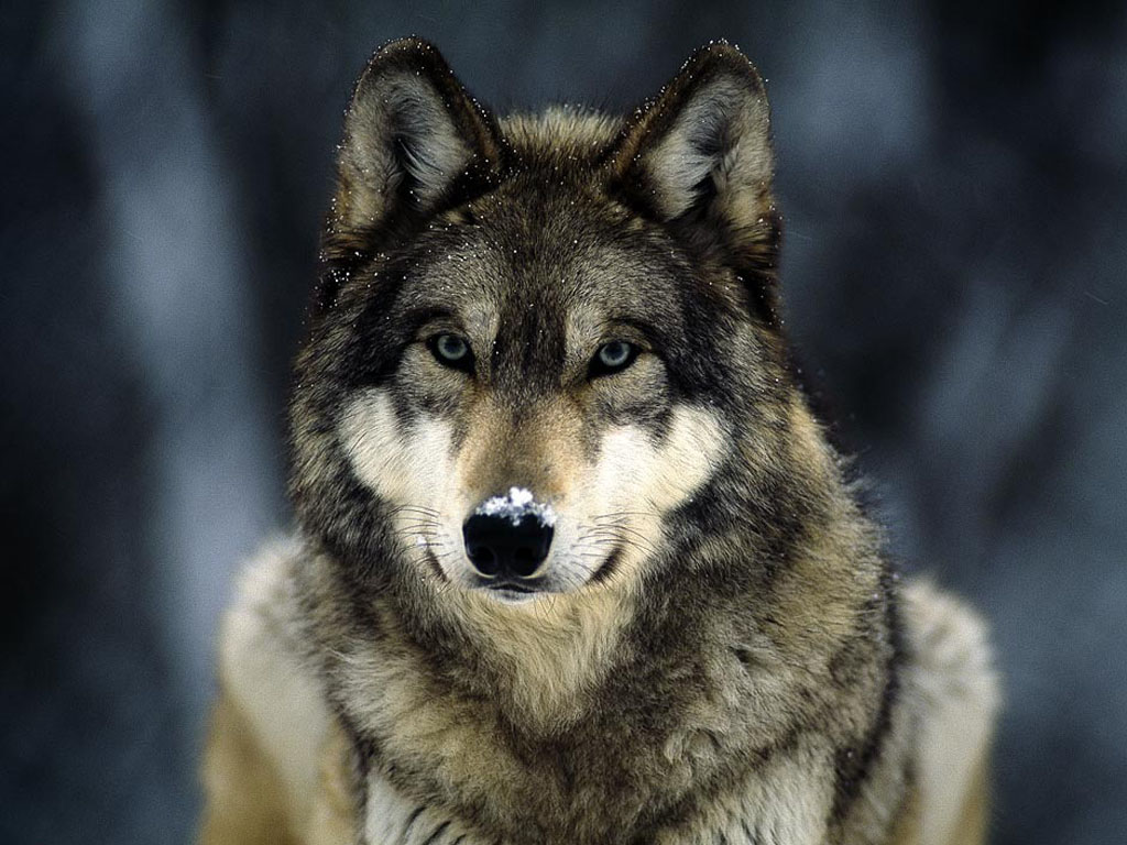 wallpapers Wolf in Winter Wallpapers 1024x768