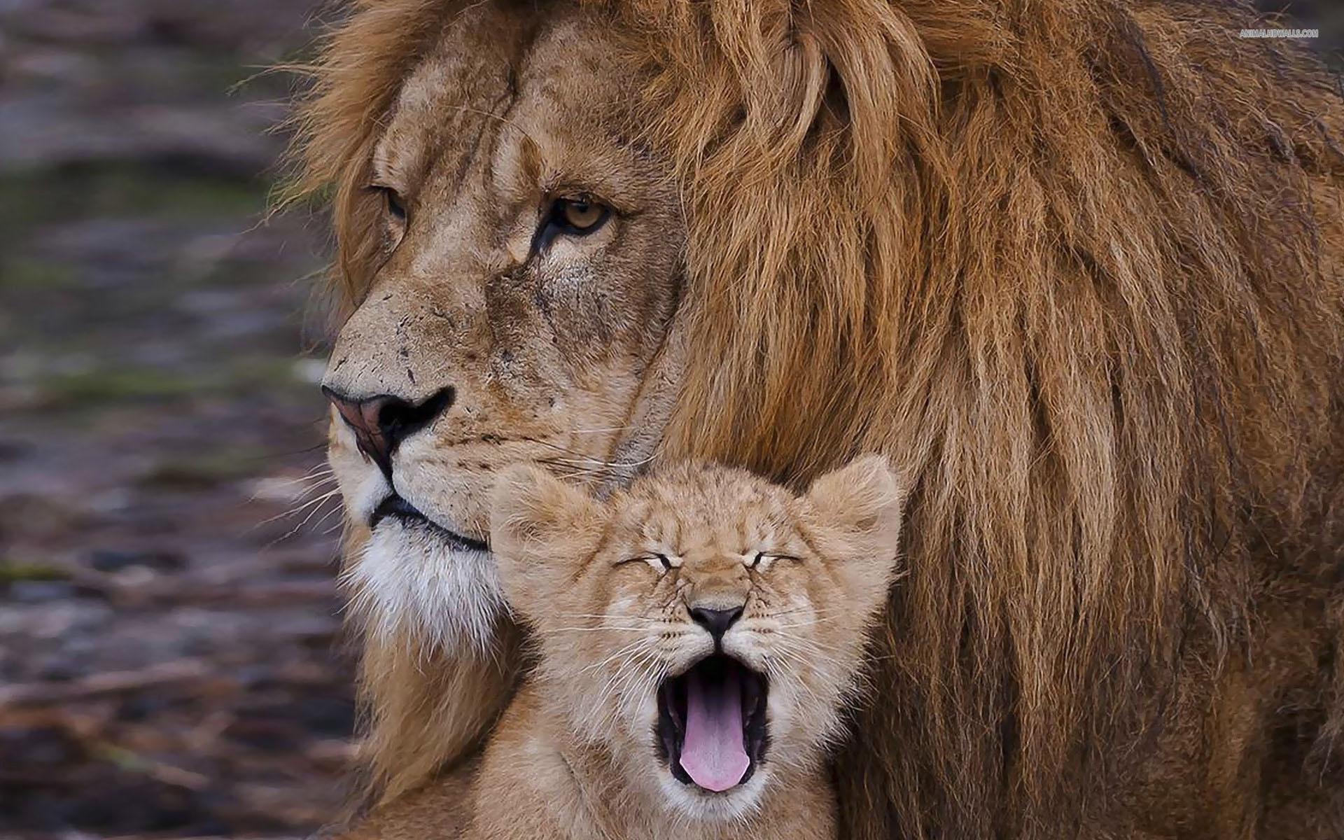 Lion Cubs 1920x1200