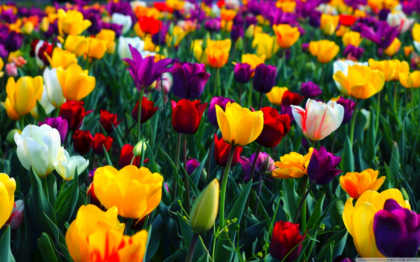 Spring Wallpapers HD download 1440x900