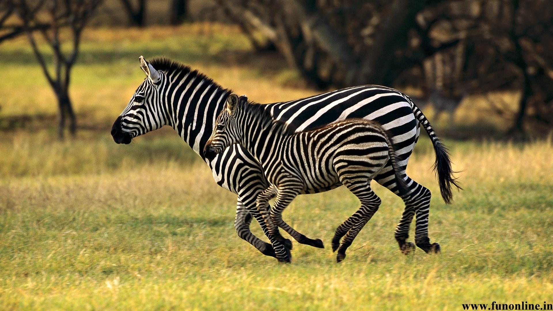 Baby zebras pixshark images galleries with a bite