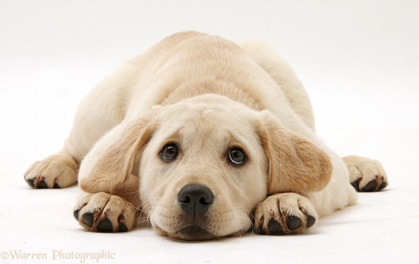 yellow labrador puppy hd wallpaper yellow labrador puppy wallpapers 1442x909