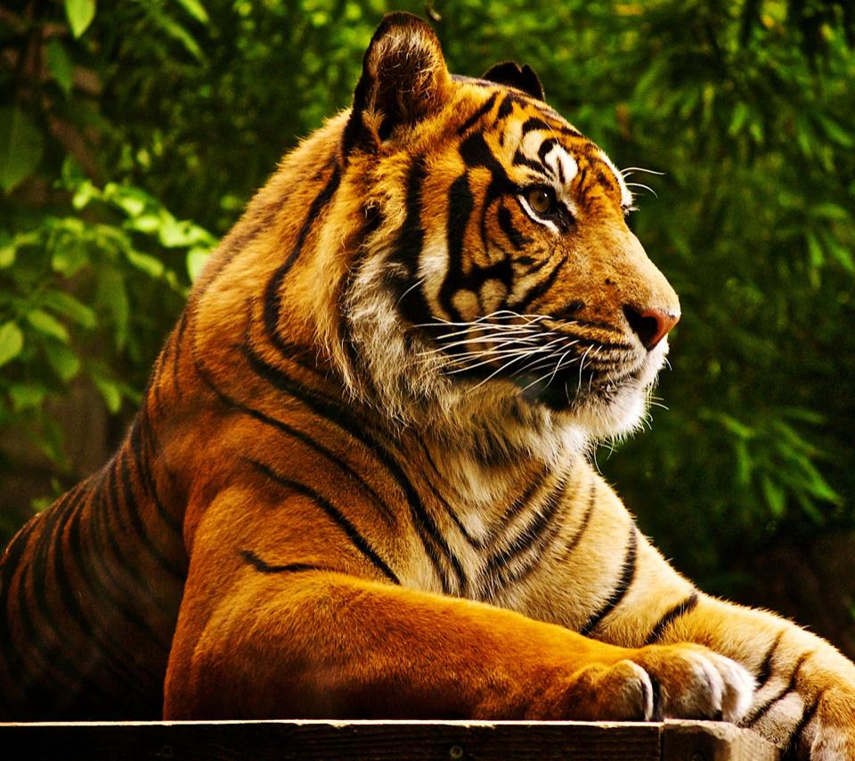 Tiger tablet hd wallpapers HD Wallpaper 960x854